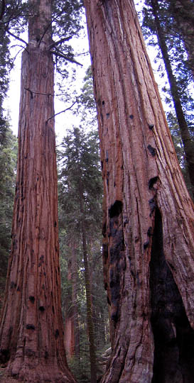 Picture of sequoia forest